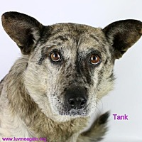 Adopt A Pet :: Tank - Bloomington, MN