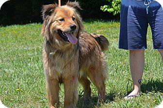 Collie/Australian Shepherd Mix Dog for adoption in Sparta, New Jersey - Tanner#1-adopt pending