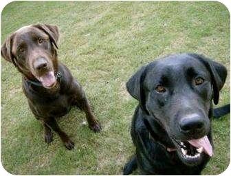 Labrador Retriever Dog for adoption in Altmonte Springs, Florida - Tatonka