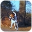 Photo 2 - St. Bernard Mix Dog for adoption in Glendale, Arizona - Tank