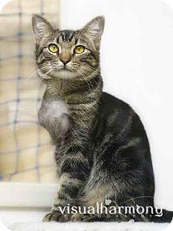 Domestic Shorthair Cat for adoption in Phoenix, Arizona - Luke