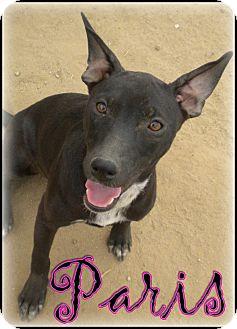Australian Cattle Dog/Border Collie Mix Puppy for adoption in Bakersfield, California - Paris