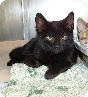 Domestic Shorthair Kitten for adoption in Dover, Ohio - Rocket