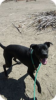 American Staffordshire Terrier/Labrador Retriever Mix Dog for adoption in Valley Village, California - SHADOW