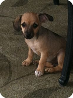 Chihuahua/Dachshund Mix Puppy for adoption in Phoenix, Arizona - Tres