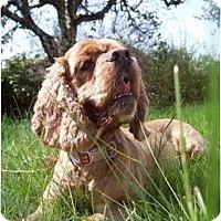 Adopt A Pet :: Lucy - Tacoma, WA