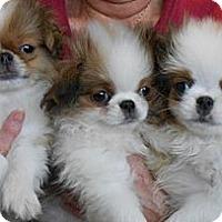 Adopt A Pet :: JAPANESE CHIN PUPS- Bryant, AR - Little Rock, AR