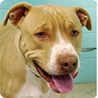 Adopt A Pet :: Scoobie-Doobie - Sacramento, CA