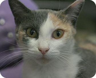 Calico Cat for adoption in Canoga Park, California - Tigress