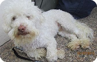 Poodle (Miniature)/Terrier (Unknown Type, Small) Mix Dog for adoption in San Ysidro, California - Snowy