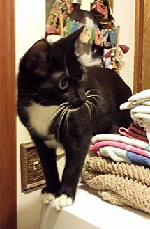 Domestic Shorthair Cat for adoption in Lawton, Oklahoma - TOKEN
