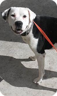Boxer/Labrador Retriever Mix Dog for adoption in East Hartford, Connecticut - Sugar Bear