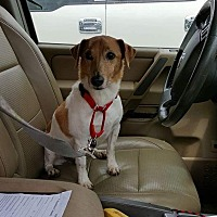 Jack Russell Terrier Dog for adoption in Staunton, Virginia - Bojack