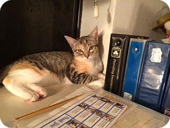 Domestic Shorthair Kitten for adoption in Alamo, California - Mickey