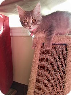 Domestic Mediumhair Cat for adoption in Flint HIll, Virginia - Shenandoah
