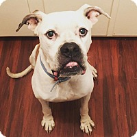 American Bulldog Mix Dog for adoption in Orlando, Florida - Klaus