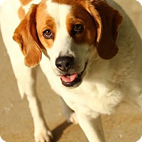 Beagle/Brittany Mix Dog for adoption in Lafayette, Indiana - Cecil