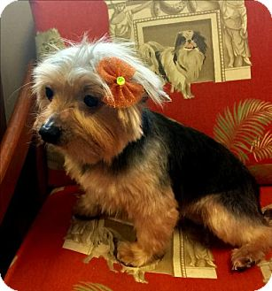 Yorkie, Yorkshire Terrier Dog for adoption in Whiting, New Jersey - Rosie in PA