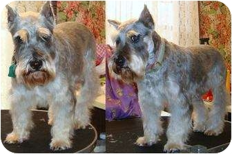 Schnauzer (Miniature) Dog for adoption in Southeastern, Kansas - Minnie