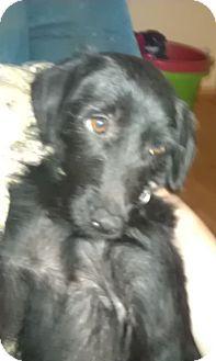 Labrador Retriever Mix Dog for adoption in Manchester, Connecticut - Nonnie-Pending Adoption