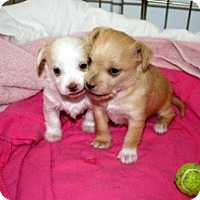Adopt A Pet :: Two Puppies! - Estes Park, CO