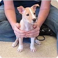 Adopt A Pet :: Thumbelina - Kingwood, TX