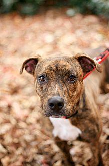 Plott Hound/Pit Bull Terrier Mix Dog for adoption in Marietta, Georgia - Trixie