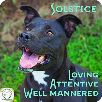 Pit Bull Terrier Mix Dog for adoption in Washburn, Missouri - Solstice