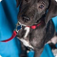 Adopt A Pet :: Samara - Minneapolis, MN