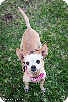 Chihuahua Mix Dog for adoption in Tucson, Arizona - Snaggle