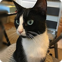 Domestic Shorthair Cat for adoption in Tampa, Florida - Dottie