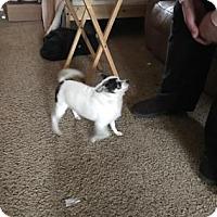 Adopt A Pet :: Little Bit - Warsaw, IN
