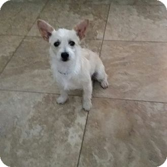 Terrier (Unknown Type, Small)/Terrier (Unknown Type, Small) Mix Puppy for adoption in New Port Richey, Florida - Lil Bit