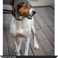 Adopt A Pet :: Heidi - Bristol, TN