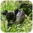 Photo 3 - Chihuahua/Italian Greyhound Mix Puppy for adoption in Arlington, Texas - Sarah