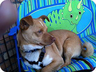 Corgi Mix Dog for adoption in North Hollywood, California - Lance