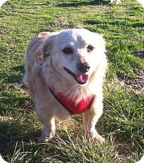 Corgi Mix Dog for adoption in Irvine, California - JERRY