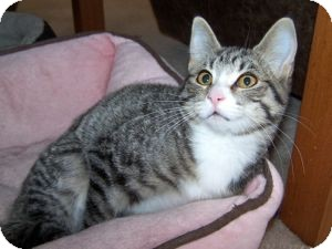 Domestic Shorthair Kitten for adoption in Colorado Springs, Colorado - K-Sitka1-Lily