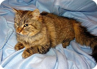Maine Coon Cat for adoption in Bentonville, Arkansas - Georgia Mae
