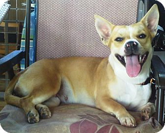 Corgi/Boxer Mix Dog for adoption in Ocala, Florida - Maria