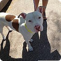 Adopt A Pet :: Cesar - Gilbert, AZ