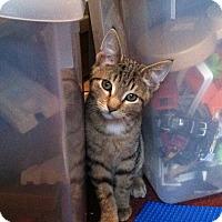 Adopt A Pet :: Tiger - Riverhead, NY