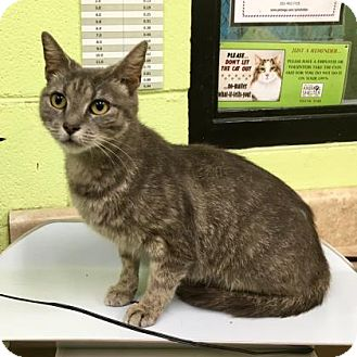 Domestic Shorthair Cat for adoption in Greenville, North Carolina - Nanny