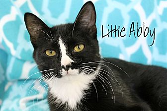 Domestic Shorthair Cat for adoption in Wichita Falls, Texas - Little Abby