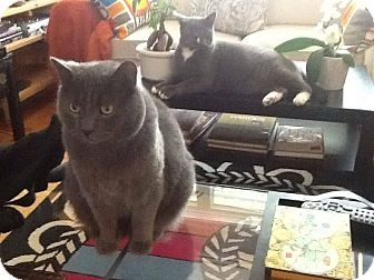 Russian Blue Cat for adoption in THORNHILL, Ontario - Oscar
