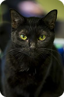 Domestic Shorthair Cat for adoption in Indianapolis, Indiana - China