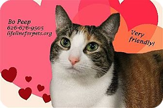 Domestic Shorthair Cat for adoption in Monrovia, California - BO PEEP