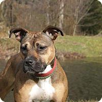 Adopt A Pet :: Dakota Louise A34333147 - Westampton, NJ
