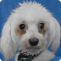 Adopt A Pet :: Mindy - Chesterfield, MO