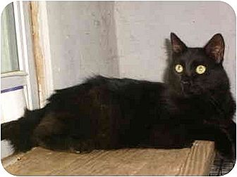 Domestic Shorthair Cat for adoption in Anton, Texas - Preacher